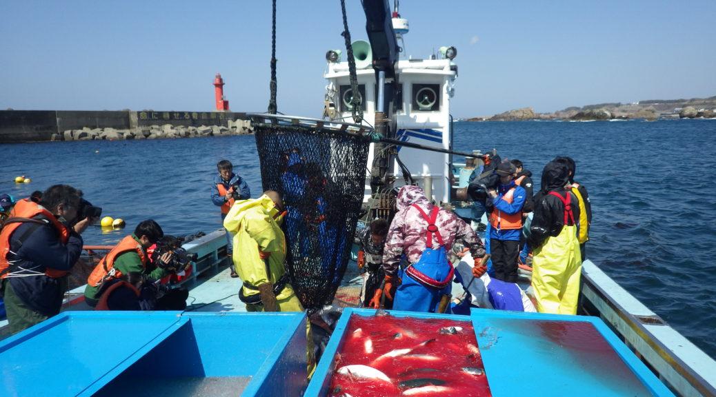 日本海深浦サーモン 水揚げ風景